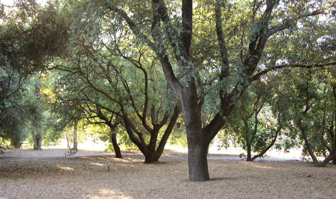 Among the Oaks